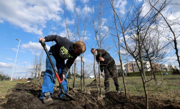 Dwóch pracowników firmy ogrodniczej wkopuje sadzonki drzew na pasie zieleni przy ul. Polnej