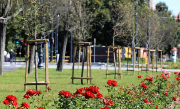 Nowo nasadzone róże i drzewa na placu Rapackiego w Toruniu, fot. Sławomir Kowalski
