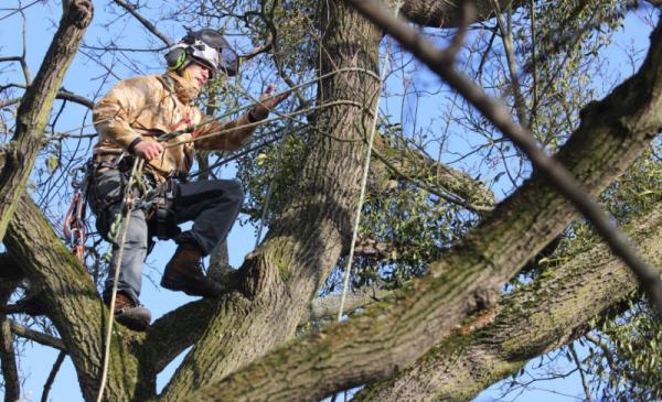 Pracownik w specjalnej uprzęży alpinistycznej wycina jemiołę z wysokiego drzewa