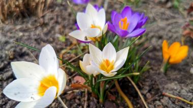 Wiosenne kwiaty, fot. Sławomir Kowalski