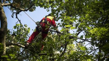 zdjęcie pracownika wycinającego jemiołę