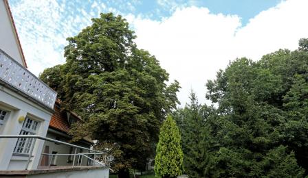 Okazały kasztanowiec - pomnik przyrody przy Prezydentówce, ul. Grunwaldzka