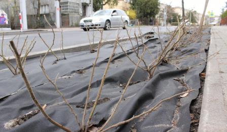 Nowo posadzone krzaki róż, podłoże przykryte czarną folię.